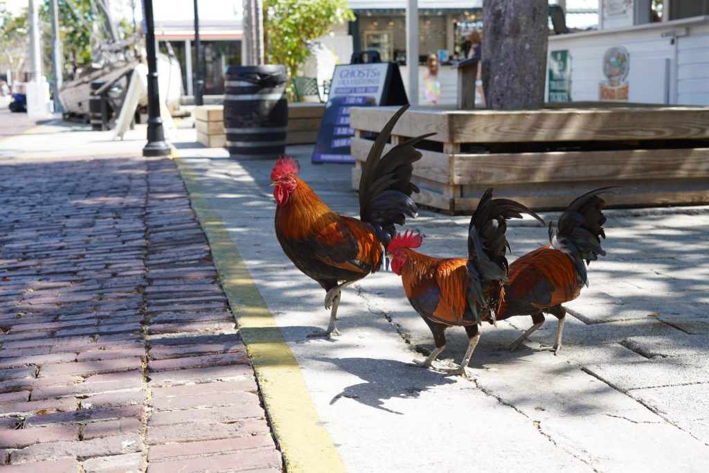 Roosters on the sidewalk in Key West. | What you to need to know about Key West